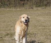 Buddy – Zlatý retriever